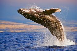 humpback whale, Megaptera novaeangliae, breaching, Kona Coast, Big Island, Hawaii, USA, Pacific Ocean