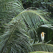 Cattle Egret, (Bubulcus ibis) Perched in palm tree in bird park at Kuala Pumpur. Malaysia.