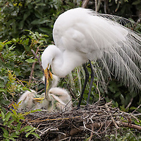 Great egret parent tends the three chicks, just a few weeks old, one latching onto the parent's beak. Venice Audubon Rookery, Venice, Florida