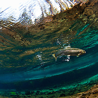 Rainbow trout swimming in a small stream.