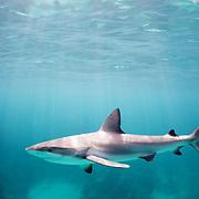 Caribbean reef shark (Carcharhinus perezi), Harbour Island, Bahamas.
