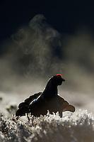07.04.2009.Black Grouse (Tetrao tetrix) male expiring warm air on a cold morning. Display on a bog. Lekking behaviour. Courting. Frost..Bergslagen, Sweden.