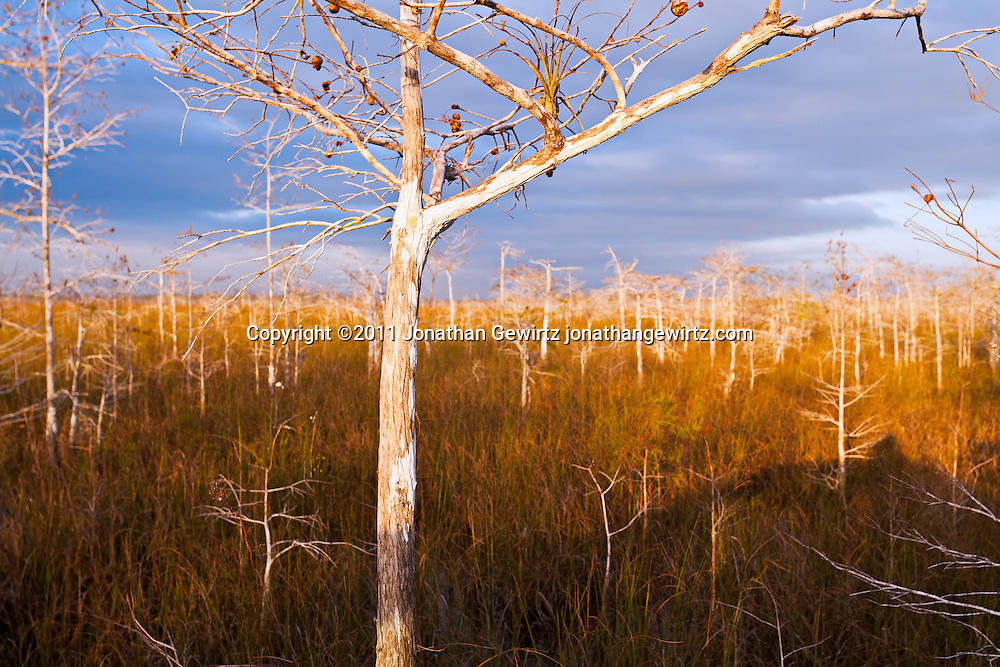Bald Cypress forest in Everglades National Park, Florida. WATERMARKS WILL NOT APPEAR ON PRINTS OR LICENSED IMAGES.<br /> Licensing: https://tandemstock.com/assets/31214273