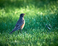 American Robin. Image taken with a Nikon D4 camera and 600 mm f/4 VR lens.