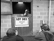 """Shergar Foal Sale.1983.20.11.1983.11.20.1983.20th November 1983..An,as yet,un-named foal  sired by the famous Shergar was on view for the first time today. The viewing was prior to the auction to be held at Goffs Sales,Kildare..Image of """"Lot 303"""" as he poses for the cameramen..Note; On the 8th February 1983,""""Shergar"""",was kidnapped from the Ballymany Stud,Curragh, Co,Kildare. the IRA were the alleged kidnappers. Shergar had been syndicated for £10million by the Aga Khan,his owner. Shergar had won the Epsom Derby by a record 10 lengths. The purported ransom was £2million. Despite a large investigation the horse had dissappeared and no trace of him was ever found. The story has been the subject of much controversy and has be much covered in books and film"""