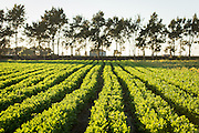Organic celery grows on one of the many incubator farms which is part of the ALBA program in Salinas, CA.