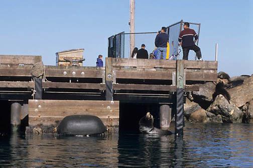 California Sea Lion, (Zalophus californicenus) On docks in Monterey, California.