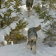 Gray Wolf, (Canis lupus) Adults running in snow capped forest. Montana. Winter.  Captive Animal.