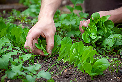 Thinning out lines of young Lettuce 'Little Gem' - Lactuca sativa 'Little Gem' AGM