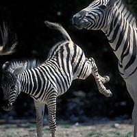 Namibia, Etosha National Park, Young Plains Zebra (Equus burchelli) kicks at mother by water hole