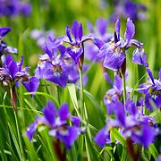 Purple iris flowers in a flower bed. Photo by Adel B. Korkor.
