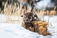 Badger Portrait, winter in the Greater Yellowstone