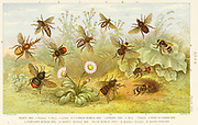 'Various species of bee, including  the Honey Bee Queen, Worker, and Drone, and various Bumble bees; Coloured-printed engraving, London, 1888.'