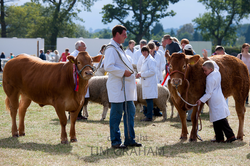 Pedigree British Limousin champion heifer cows at Moreton Show, Moreton-in-the-Marsh Showground, The Cotswolds, Gloucestershire, UK