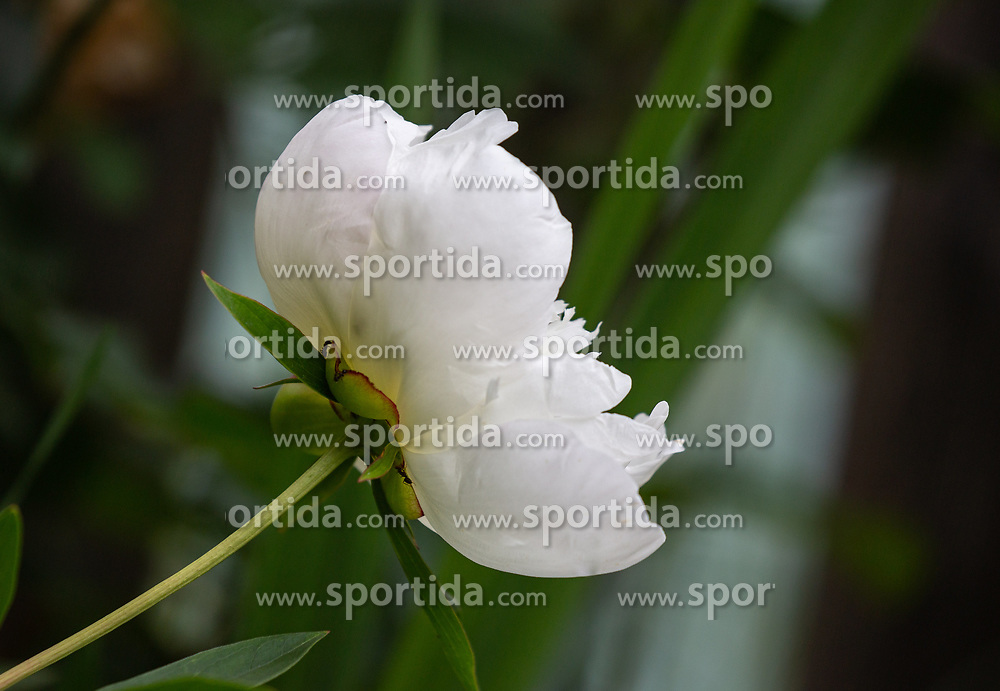 THEMENBILD - eine weiße Pfingstrose (Paeonia), aufgenommen am 09. Juni 2018, Kaprun, Österreich // a white peony rose on 2018/06/09, Kaprun, Austria. EXPA Pictures © 2018, PhotoCredit: EXPA/ Stefanie Oberhauser