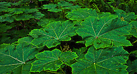 Devil's Club (Oplopanax horridus) grows large leaves in the moist temperate forests of the Kitsap Peninsula in Puget Sound Washington state, USA