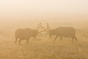 Bull elk at sunrise sparring in Yellowstone National Park during late summer