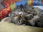 Haus- und Straßenkatze Speedy liegt auf einer Decke und ruht sich aus.<br /> <br /> Street- and housecat Speedy relaxing on a bed.