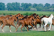 Herd of wild horses on the Great Plain of Hungary at Bugac, Hungary