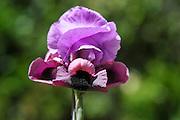 Gilboa Iris (Iris haynei) Photographed at Mount Gilboa Israel in March