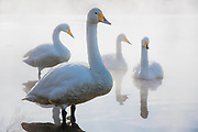 Japanese Whooper swans (Cygnus cygnus) in fog, Lake Kussharo, Hokkaido, Japan