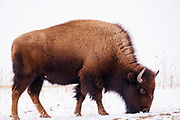 19 FEBRUARY 2021 - PRAIRIE CITY, IOWA: American Bison (buffalo) graze in a snow covered field at the Neal Smith National Wildlife Refuge near Prairie City, about 45 minutes from downtown Des Moines. The Wildlife Refuge has the largest herd of wild bison in Iowa and the only herd of wild elk in Iowa. Both animals were once native to Iowa and common in the state, but were hunted to extinction in 19th century. Controlled herds were reintroduced in the mid 20th century. Both the bison and elk herds are carefully managed to maintain genetic diversity.       PHOTO BY JACK KURTZ