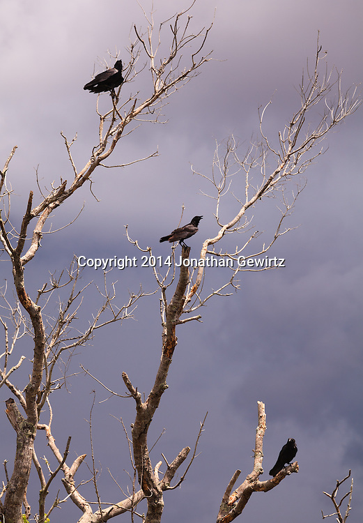 Three American Crows (Corvus brachyrhynchos) perch in the branches of a barren tree in Everglades National Park, Florida.<br /> WATERMARKS WILL NOT APPEAR ON PRINTS OR LICENSED IMAGES.