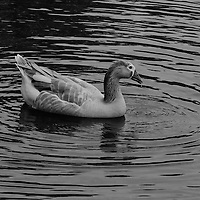 """Dappled and Dripping"" B&W<br />