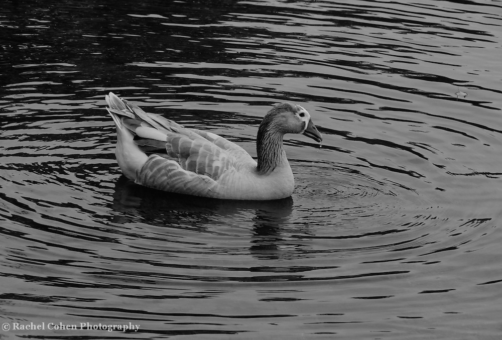 """""""Dappled and Dripping"""" B&W<br /> <br /> A lovely black and white image of a goose in a lake. Water dripping from his beak, and dappled in beads on his feathers!!<br /> <br /> Black and White images by Rachel Cohen"""