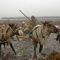 As rapidly-approaching spring melts snow on the arctic Russian tundra, Alexei Semyashkin, a nomadic Komi reindeer herder,  charges with his team through a pool atop the permafrost.  Within weeks these pools will generate enough mosquitoes to drive both men and reindeer nearly insane, at which point they will migrate again to drier mountains further north.