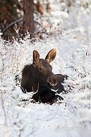 Moose calf in fresh snowfall