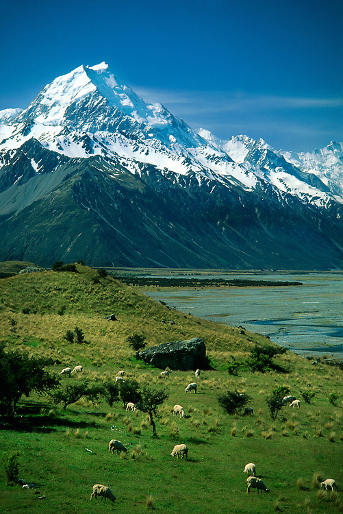 Sheep grazing in the Tasman Valley (Mt. Cook in background), South Island, New Zealand