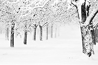 A line of trees in a winter wonderland park in black and white
