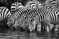Zebras in a row drinking water, Serengeti National Park. © David A. Ponton