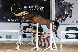 006, Winningmood Drum van het Dalhof<br /> Hengstenkeuring Brp- Azelhof - Lier  2021<br /> © Hippo Foto - Dirk Caremans<br /> 14/04/2021