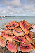 Live fresh conch at the fresh fish market Montagu beach Nassau, Bahamas.
