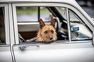 Springmeet 2019, Östersund - 18 MAJ 2019: En cruisinghund som håller koll på publiken. (Foto: Per Danielsson/Projekt.P ) <br /> <br /> Nyckelord Keywords: Springmeet 2019, Crusing,