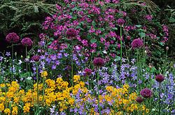 Allium hollandicum 'Purple Sensation' with Campanula patula and Erysimum allionii