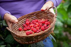 Holding a basket of harvested raspberries - Rubus idaeus