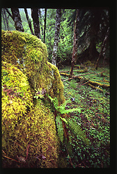 Hoh Rainforest, Olympic National Park, Washington, US