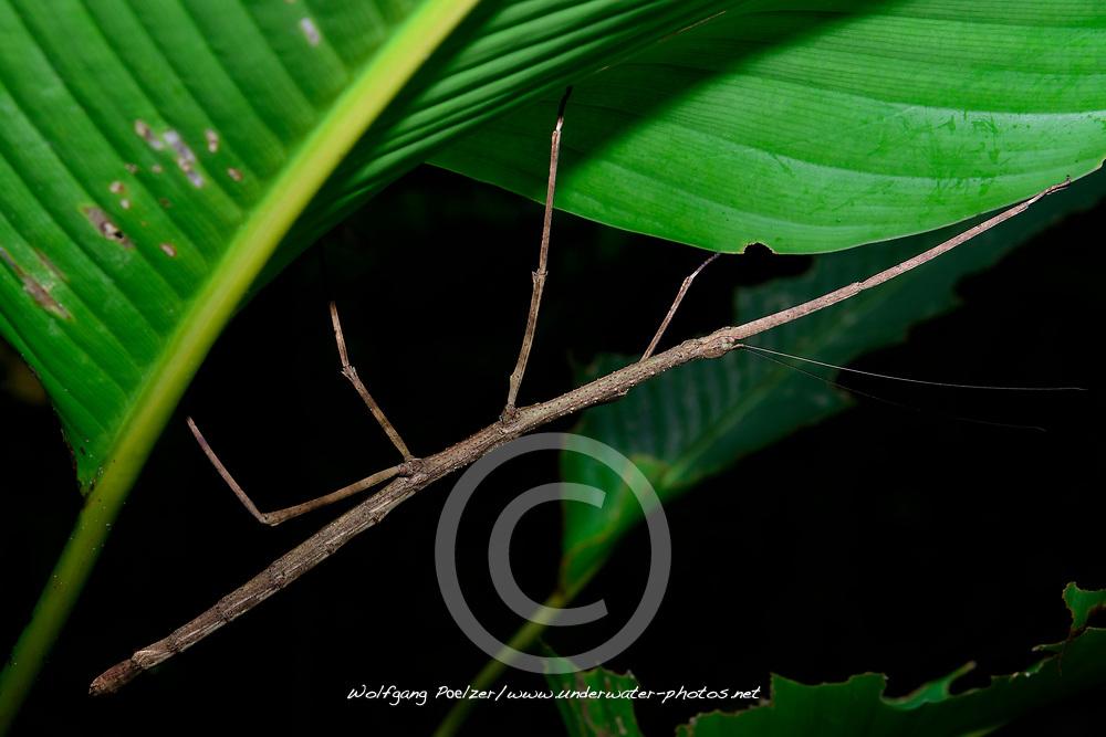 Stabheuschrecke oder Gespenstschrecke (Phobaeticus Sp.), Costa Rica, Carara Nationalpark / Walking Stick Insect (Phobaeticus Sp.), Costa Rica,  Carara National Park