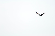 A brahminy kite (Haliastur indus) in flight.