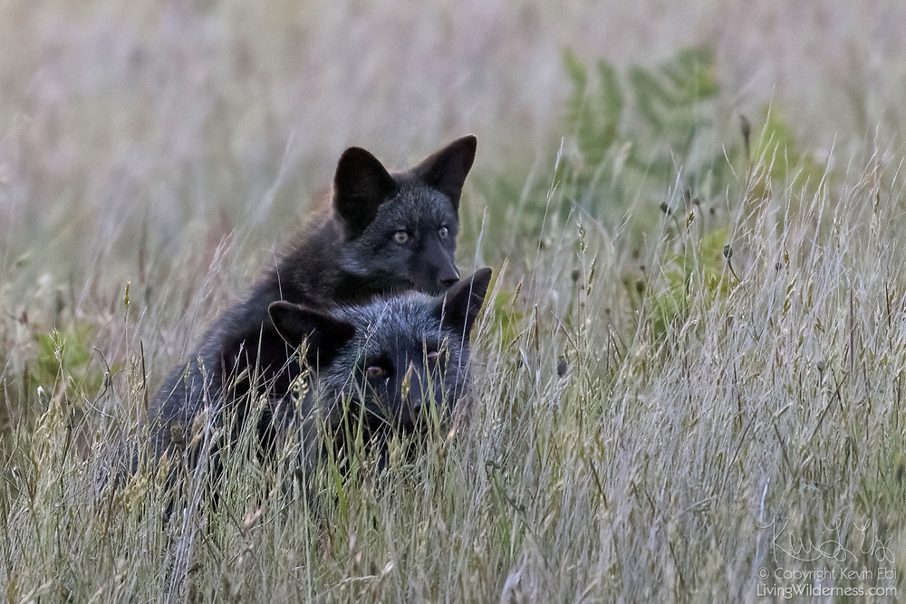 A red fox (Vulpes vulpes) kit climbs onto the back of its mother in tall grass in San Juan Island National Historical Park on San Juan Island, Washington. Even though both of these foxes are black, all of the foxes in the park are technically red foxes, regardless of their color. Red foxes were introduced to San Juan Island on various occasions in the 1900s.