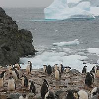 Gentoo Penguins (Pygoscelis papua) huddle together at a rookery on Cuverville Island, Antarctica.