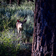 Deer graze in the brush in Mammoth Lakes, California.