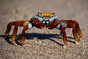 Sally Lightfoot crab (Grapsus grapsus), Santa Cruz Island, Galapagos Islands, Ecuador