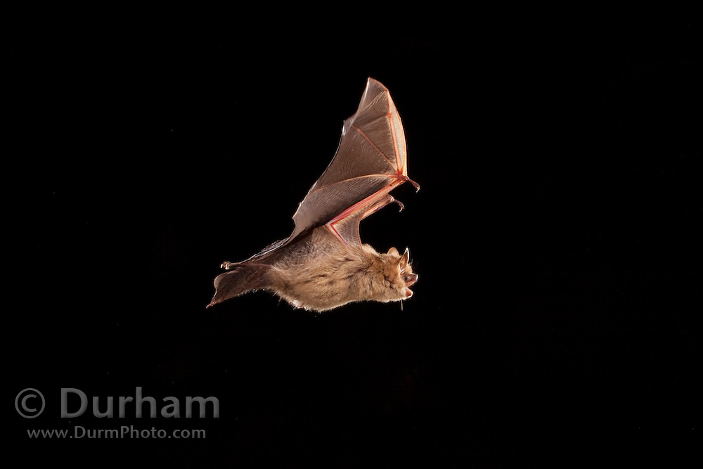 Tricolored bat (Perimyotis subflavus)formerly eastern pipistrelle (Pipistrellus subflavus), Photographed near the Conasauga River in the Chattahoochee National Forest, Georgia.