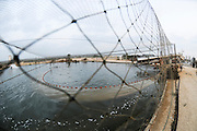 Israel, Coastal Plains, Kibbutz Maagan Michael, Harvesting fish from an intensive growing pool of Red Drum (Sciaenops ocellatus) Spreading the net and herding the fish to the lift screw.