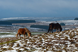 © Licensed to London News Pictures. 14/01/2017. Builth Wells, Powys, Wales, UK. Welsh ponies are seen grazing in the snow on the high moorland of the Mynydd Epynt range near Builth Wells in Powys, Wales, UK. Temperatures at 400 metres are around freezing. There is a cold North Westerly wind on high land and there are occasional light showers of snow or sleet. A very light dusting of snow fell in the valleys but quickly melted. Photo credit: Graham M. Lawrence/LNP