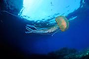 Common Jelly (Pelagia noctiluca)